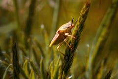 Acanthosomatidae, scarabée sur le macro d'herbe Photographie stock