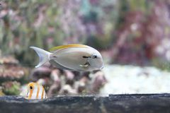 Acanthuridae Lizenzfreie Stockbilder