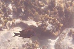 Acanthuridae sind die Familie von Surgeonfishes Stockbilder