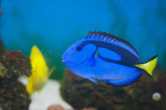 Acanthuridae, surgeonfish Photos stock