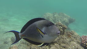 Acanthuridae or Surgeonfish. Acanthuridae Fish or Surgeon Fish swims at the cay (1080p 25 fps stock video footage