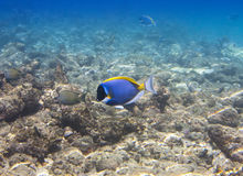 Acanthurus, μπλε γεύση σκονών Στοκ Εικόνες