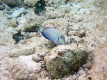 Acanthurus bahianus Royalty Free Stock Images