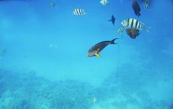 Acanthurus exótico tropical de los pescados subacuático en el Mar Rojo del agua Imagen de archivo