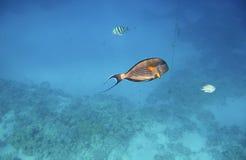 Acanthurus exótico tropical de los pescados subacuático en el Mar Rojo del agua Foto de archivo