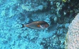 Acanthurus exótico tropical de los pescados subacuático en el Mar Rojo del agua Fotos de archivo