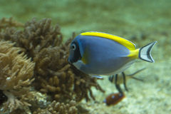 Acanthurus leucosternon Royalty Free Stock Photos