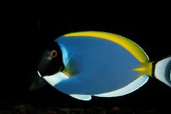 Acanthurus leucosternon - Andaman Sea Royalty Free Stock Image