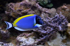 Acanthurus leucosternon. In a coral reef Royalty Free Stock Images