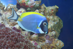 Acanthurus Leucosternon, Tropical fish Stock Photo