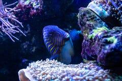 Acanthurus lineatus fish. Close up Royalty Free Stock Image