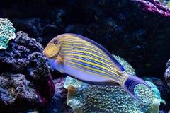 Acanthurus lineatus fish. Close up Stock Image