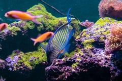 Acanthurus lineatus fish. Close up Stock Photography