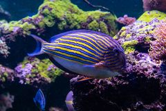 Acanthurus lineatus fish. Close up Royalty Free Stock Images
