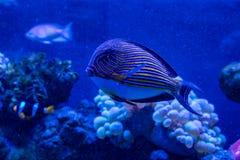 Acanthurus lineatus fish. Close up Stock Photo