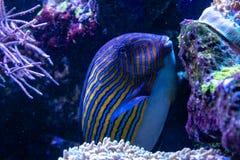 Acanthurus lineatus fish. Close up Stock Images