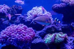 Acanthurus lineatus fish. Close up Royalty Free Stock Photos