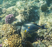 Acanthurus shoal Stock Images