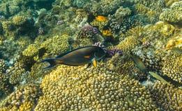 Acanthurus shoal Royalty Free Stock Images