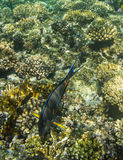 Acanthurus shoal Stock Photography