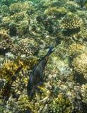 Acanthurus shoal Stock Photography