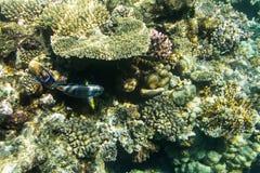 Acanthurus shoal Stock Photos