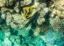 Acanthurus shoal Stock Image