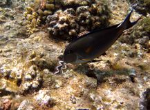Acanthurus Sohal Royalty Free Stock Images