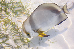 ACANTHURUS TRIOSTEGUS, Convict surgeonfish Royalty Free Stock Photos