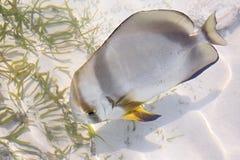 ACANTHURUS TRIOSTEGUS, Strafgefangene Surgeonfish Lizenzfreie Stockfotos