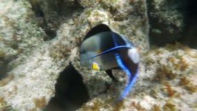 Acanthurus tropical Sohal del Surgeonfish de Sohal de los pescados almacen de metraje de vídeo