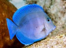 Acanthuruscoeruleus Blauwe Tan stock afbeelding