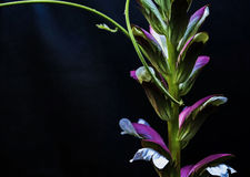 Acanthus Stock Photography