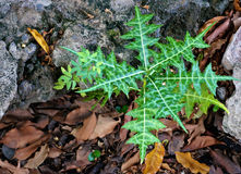 Acanthus ebracteatus vahl herb plant Stock Image