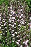 Acanthus hungaricus Lizenzfreie Stockfotografie
