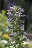 Acanthus hungaricus high flowering plant, herbaceous purple white green flower in bloom on stem. Acanthus hungaricus high flowering plant, herbaceous purple royalty free stock image