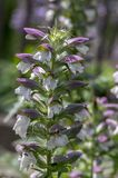 Acanthus hungaricus high flowering plant, herbaceous purple white green flower in bloom on stem. Acanthus hungaricus high flowering plant, herbaceous purple stock image
