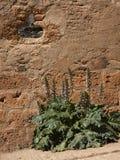 Acanthus mollis in Alhambra, Granada Stock Photo
