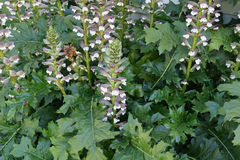 Acanthus mollis, bear's breaches Stock Photo