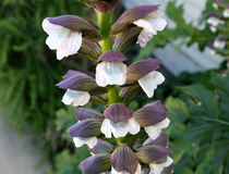 Acanthus mollis, bear's breaches Stock Photos