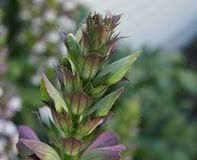 Acanthus mollis, bear's breaches Royalty Free Stock Images