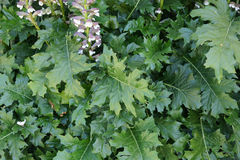 Acanthus mollis, bear's breaches Stock Image