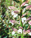 Acanthus mollis (Bear's Breech) Stock Photos