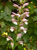 Acanthus Mollis Blumen-Spitze Stockfoto