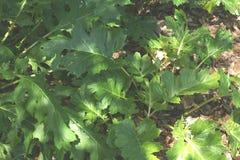 Acanthus mollis, die Brüche des Bären Stockbilder
