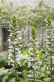 Acanthus Mollis flowers Royalty Free Stock Photo