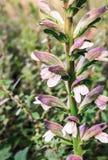 Acanthus mollis (Wiesen-Bärenklau) Stockbild