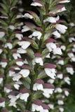Acanthus Spinosus-Blumen Stockfotografie
