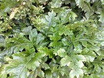 Acanthusbladeren Stock Fotografie