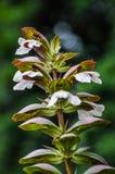 Acanthusblumen auf dunkelgrünem Hintergrund Stockbilder